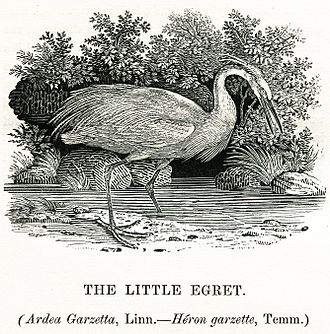 "Little egret - ""The Little Egret"" in Thomas Bewick's A History of British Birds, volume II, ""Water Birds"", 1804"