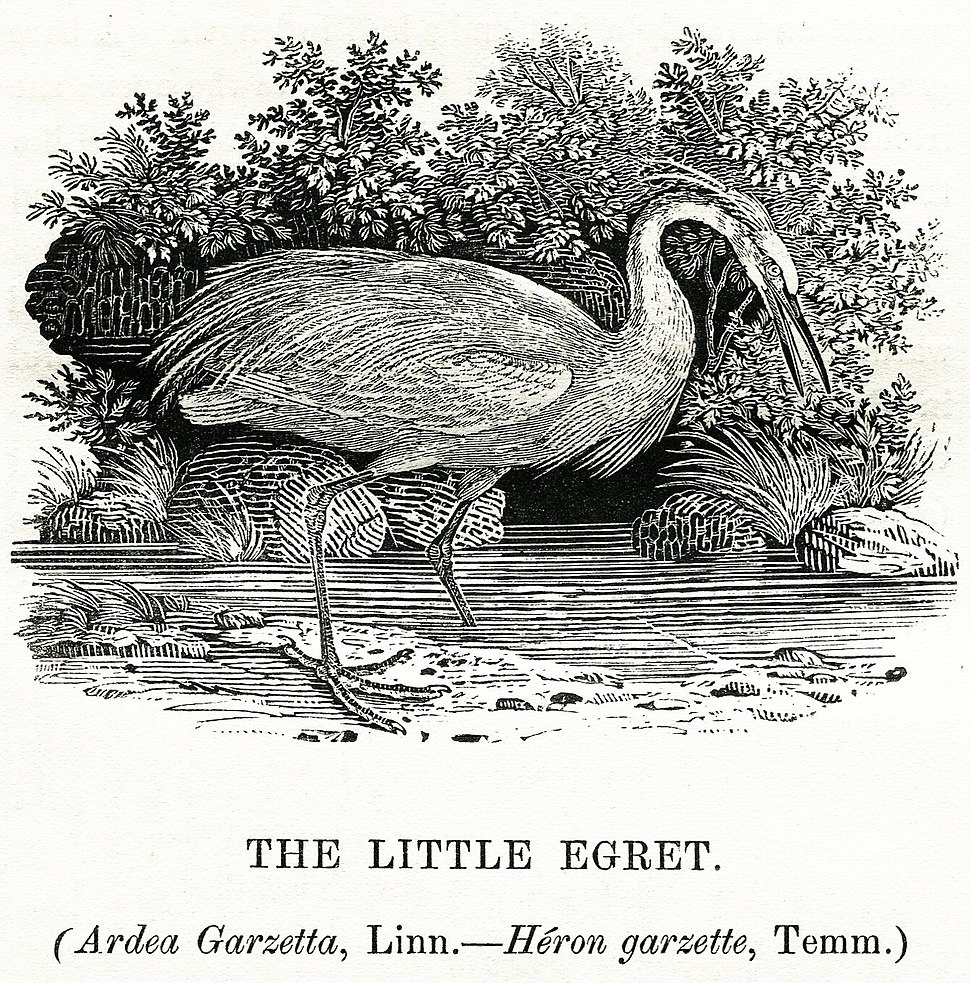 Thomas Bewick The Little Egret 1804