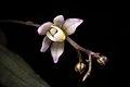 Thrixspermum saruwatarii (Hayata) Schltr., Repert. Spec. Nov. Regni Veg. Beih. 4 275 (1919) (40726832371).jpg
