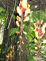 Thunbergia mysorensis-1-yercaud-salem-India.JPG