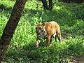 Tiger.05.jpg