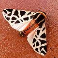 Tiger Moth. Cymbaloiphora pudica Male (5191903140).jpg