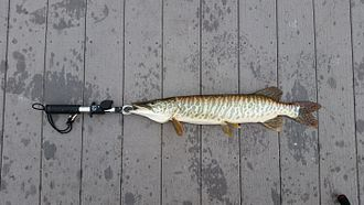 Tiger muskellunge - A tiger muskie in preparation to be measured (26.5 inches). Released.