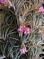 Tillandsia sucrei (TS) 2-04807.jpg