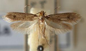 Museum integrated pest management - Tinea.pellionella.mounted