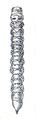 Tomoxia bucephalus larva Reitter.png