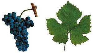 Touriga Nacional - Touriga cluster and leaf
