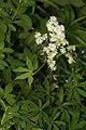 Trautvetteria caroliniensis 3154.JPG