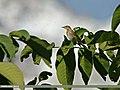 Tree Pipit (Anthus trivialis) (23789412245).jpg