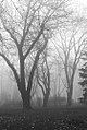 Tree mariinskiy garden 2.jpg