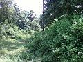 Trees along a small canal at T Kothapalli.jpg