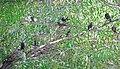 Tricolored blackbirds in a tree near Kern National Wildlife Refuge. (36993903020).jpg