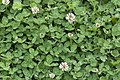 Trifolium repens blangy-tronville 80 07062007 1.jpg