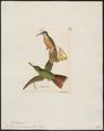 Trochilus aeneocaudus - 1820-1860 - Print - Iconographia Zoologica - Special Collections University of Amsterdam - UBA01 IZ19100367.tif