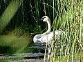 Trumpeter swan on Seedskadee National Wildlife Refuge (36093125551).jpg