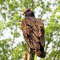 Turkey Vulture (14505969890).jpg