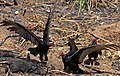 Turkey Vultures (Cathartes aura) (8592689692).jpg