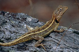 Two-lined Dragon (Diporiphora bilineata) (9855258216).jpg