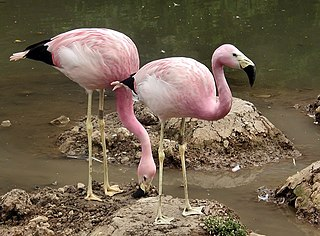 Andean flamingo Species of bird