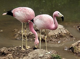 Andean flamingo - Image: Two andeanflamingo june 2003 arp