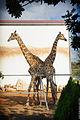 Two giraffe. (6873576224).jpg
