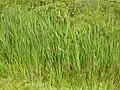 Typha latifolia (3820278691).jpg