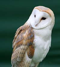 Profile of a Barn Owl, with the owl facing right and looking to its right. It has colorful brown feathers on its wing and crown, and a white-feathered face and breast.