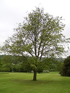 <i>Ulmus wallichiana</i> species of plant