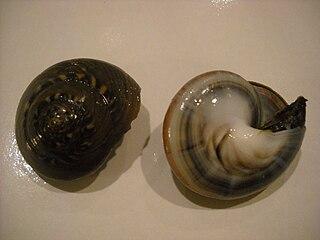 <i>Umbonium</i> Genus of gastropods