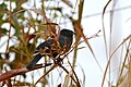 Unicoloured Blackbird (Agelasticus cyanopus) male (28400941904).jpg