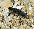 Unid fly in seaweed - Flickr - S. Rae.jpg