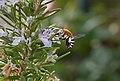 Unidentified Digger Bee (Amegilla sp.), Playa Blanca, Lanzarote (24524650394).jpg