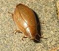 Unidentified cockroach1.jpg