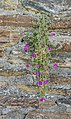 Unidentified plant in Estaing 01.jpg