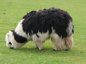 Unshorn alpaca grazing.jpg