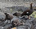 Upland Goose with Goslings (5536596896).jpg