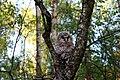 Ural owl (Strix uralensis) ringing 4.jpg