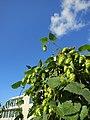 Urban hops (10177428935).jpg