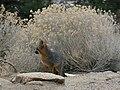 Urocyon cinereoargenteus grayFox overShoulder.jpg
