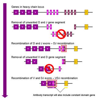 V(D)J recombination - Simplistic overview of V(D)J recombination of immunoglobulin heavy chains