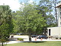 VSU Quad Tree 8.JPG