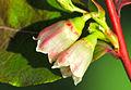 Vaccinium myrtillus - Bilberry - Maviyemiş 08.jpg