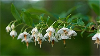 <i>Vaccinium stamineum</i> species of plant