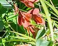 Vaccinium uliginosum subsp. microphyllum at Col de Joux Plane (2).jpg