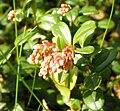 Vaccinium vitis-idaea a.JPG