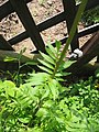 Valeriana officinalis (Leaf).jpg