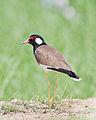 Vanellus indicus - Laem Phak Bia.jpg