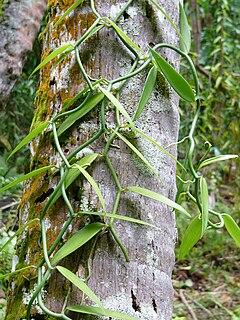 Vanilla production in French Polynesia