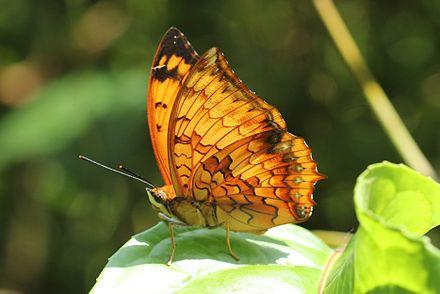 Bộ sưu tập cánh vẩy 4 - Page 19 440px-Varigated_rajah_Butterfly