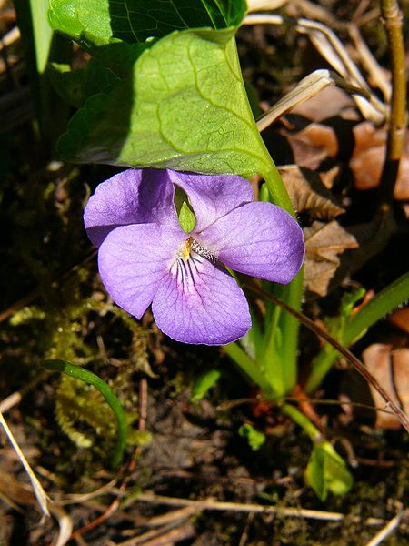 Viola mirabilis Foto Wikipedia